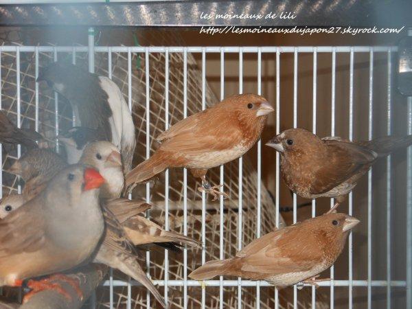 moka brun et moka gris, et roux brun né cette année.