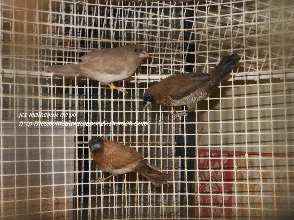 jeunes mdj roux brun, roux grix et brun porteur de roux