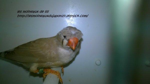 femelle mandarin brun huppé/ panaché