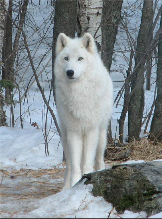 Howling for Wolves with Native drums
