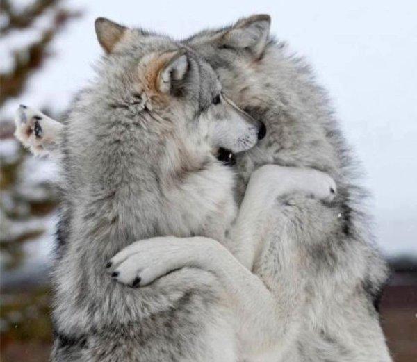 photo du site de :We are the Alpha Wolves