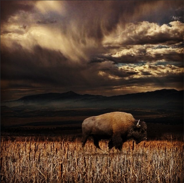 Yellowstone/  les  Bisons ont  besoin de vous!