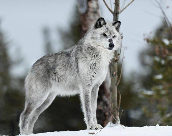 La cérémonie du Loup
