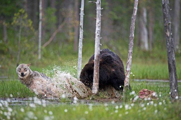Un photographe finlandais révèle une amitié extraordinaire entre un loup et un ours