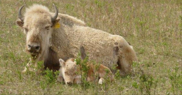 naissance d'un mâle bison blanc