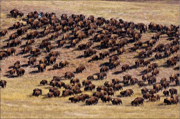 USA : Et soudain, des bisons sortis de nulle part…