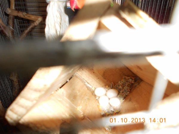 29.09.2013 - Youhou - On est enceinte! Déjà 4 oeufs dans le nid