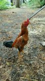 Photo de coq60randy