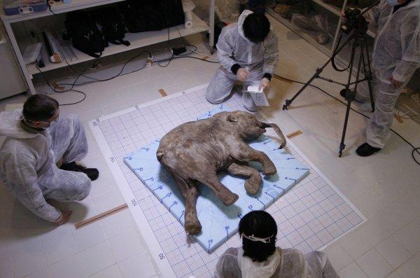 Lyuba, le bébé mammouth le mieux conservé au monde arrive à Hong Kong