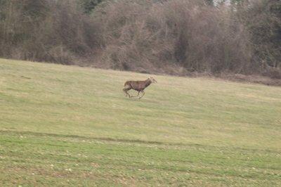 chasse a courre du 1 mars 2011