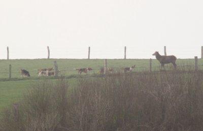chasse a courre du 1 mars 2011 les aboies