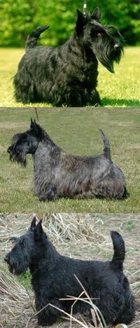 Terrier Ecossais