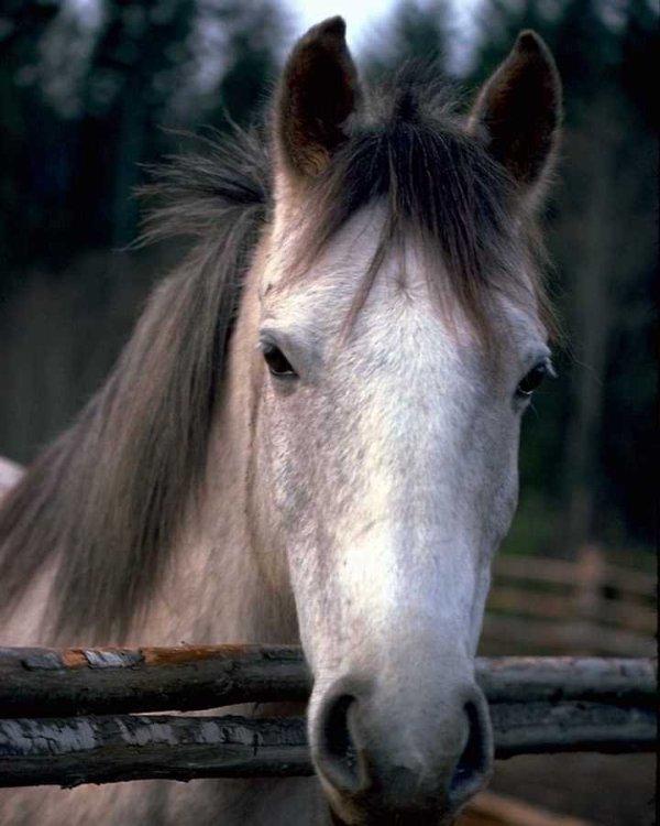 cheval gris blanc