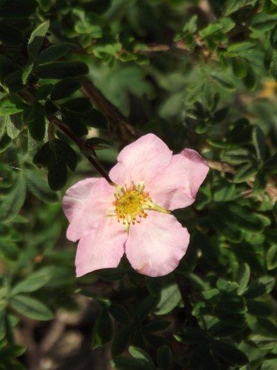 Potentille Rose