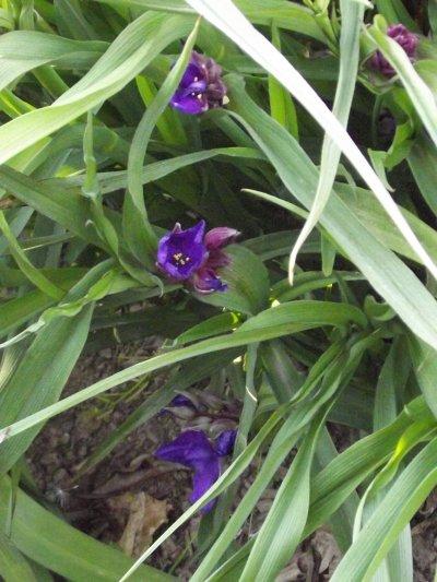 Ephémères de Virginie Violettes