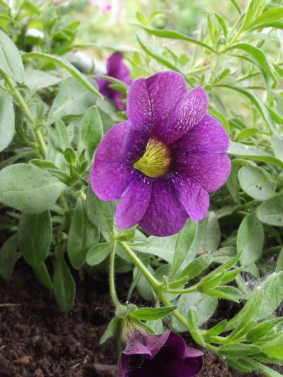 Fleurs mauves dans Balconnière