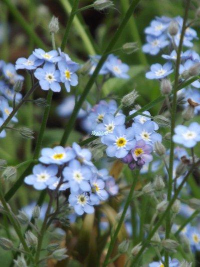 Myosothis bleu