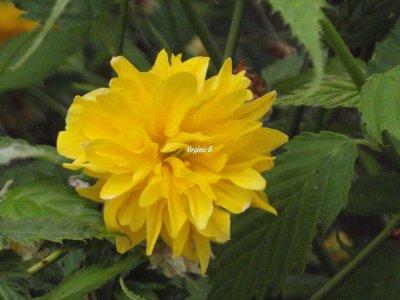 Fleurs de Kérrias