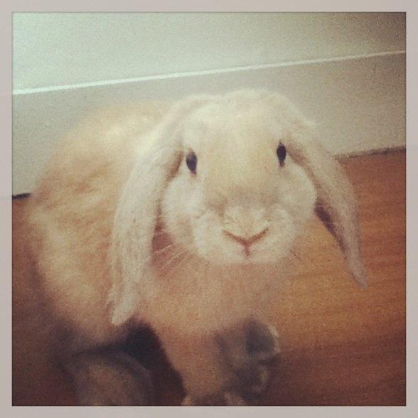 Mon lapin bélier Bunny