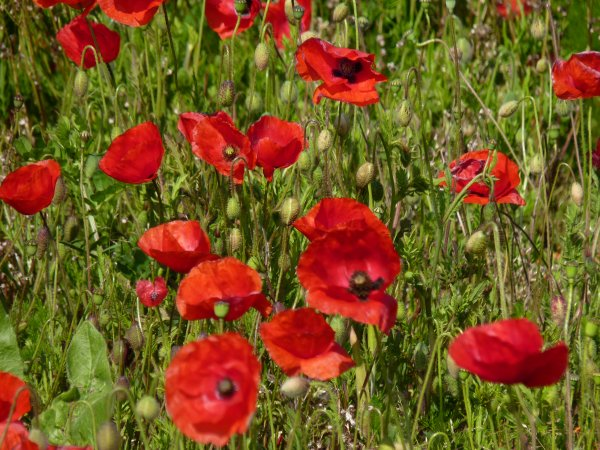GENTILS COQUELICOTS MESDAMES ...