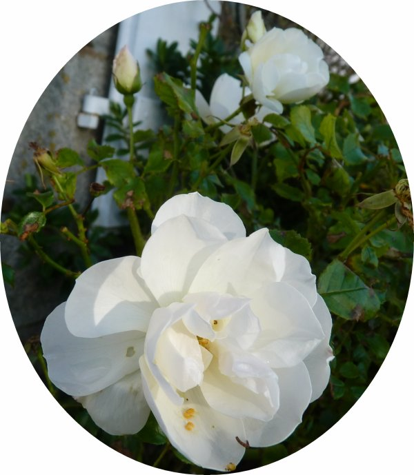 DES ROSES BLANCHES