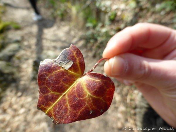 Un coeur dans une feuille