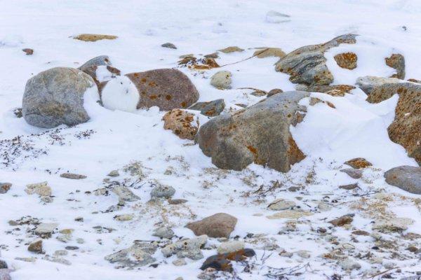 Un animal dans la neige ?