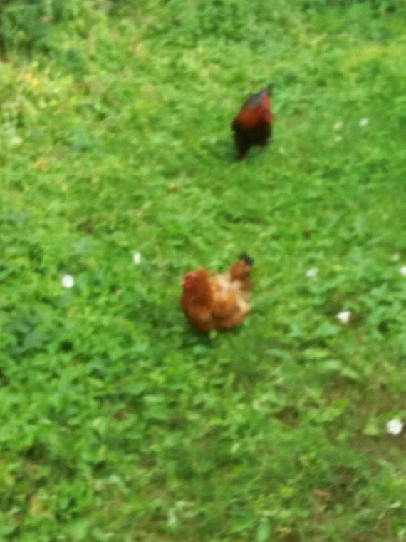 Volia geoffrey a avec son coq et sa poule