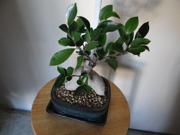mon premier bonsa ficus ginseng eleveuse amatrice de diamants mandarins. Black Bedroom Furniture Sets. Home Design Ideas