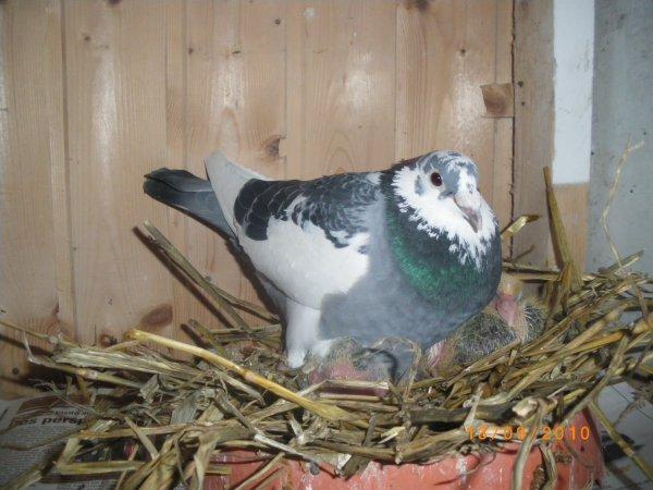 un superbe pigeon