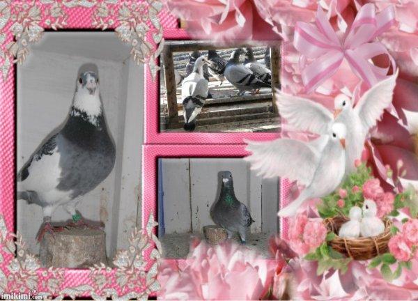 a gauche 026 , en haut pigeons au spounik , et en bas l ecailler 347