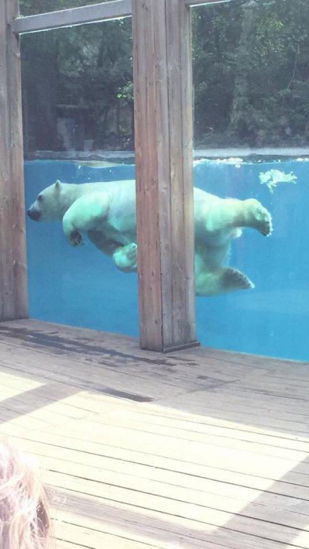 l'ours blanc dans son bassin