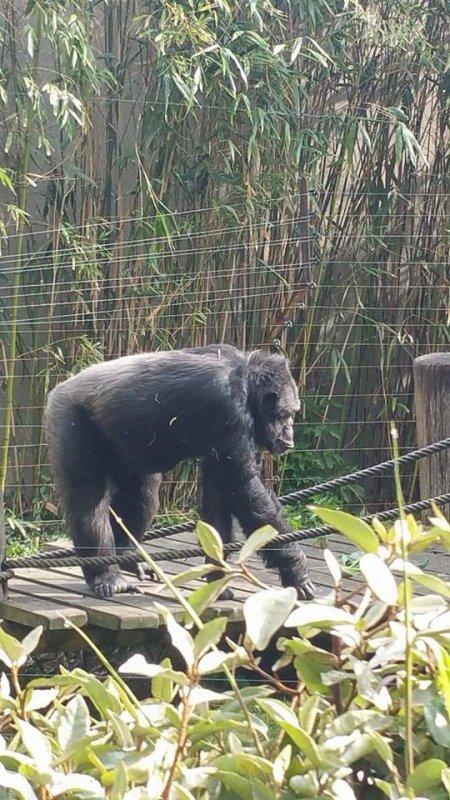 superbe gorille