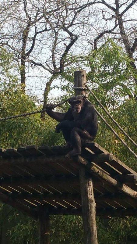superbe chimpanze