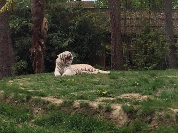 superbe tigre blanc