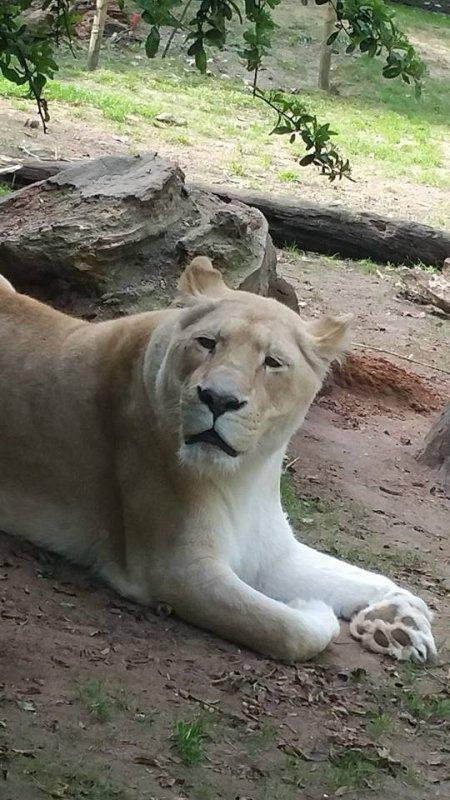 superbe lionne