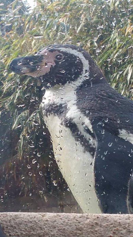 tres beau pingouin