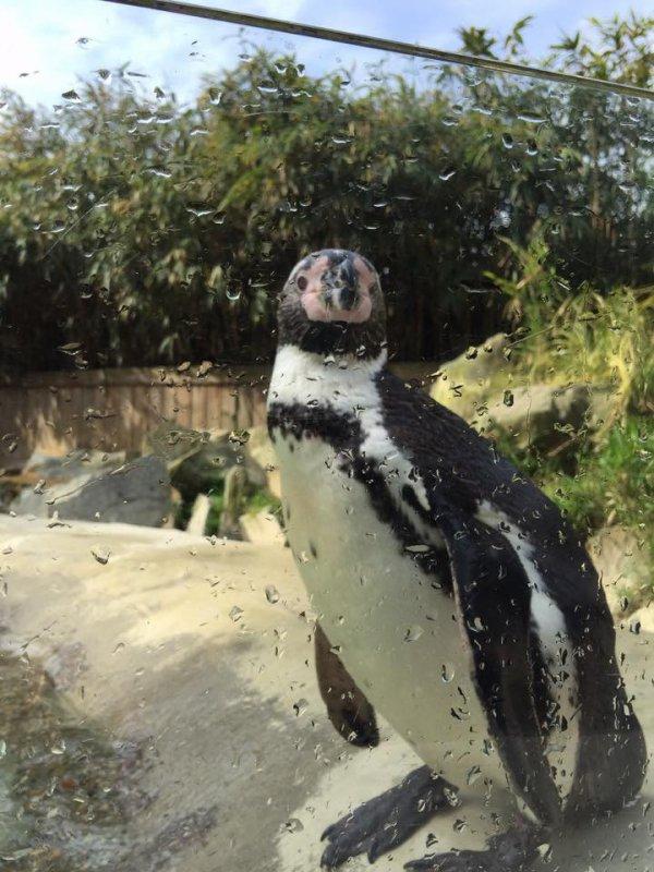 trés jolie pingouin
