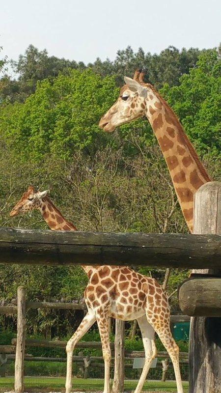 tres belle girafe