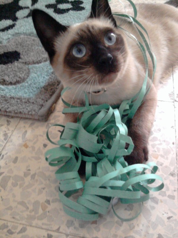 my lovely cat syler  (I)