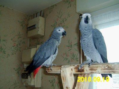 le beau cadeau que jai fait a ma femme un couple de perroquet