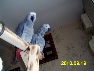 encore les deux perroquet