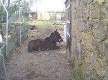notre mule