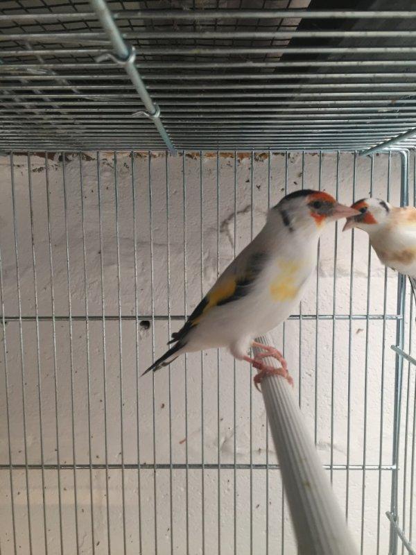 Male eumo gorge blanche porteur Tête blanche 2016