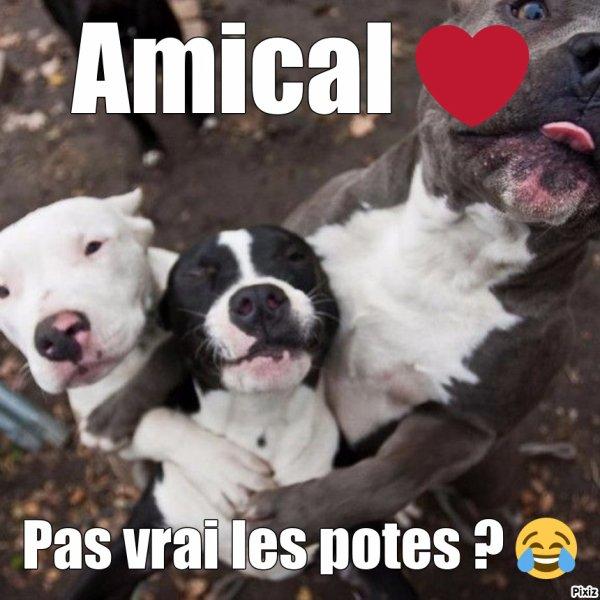 American Pit-Bull Terrier *0*
