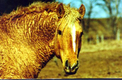 Curly american horse
