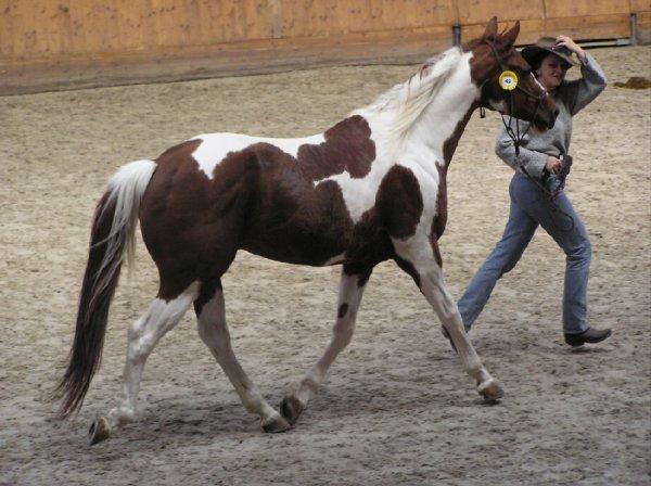 Le paint horse.