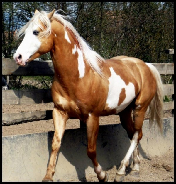 Le paint horse: suite.