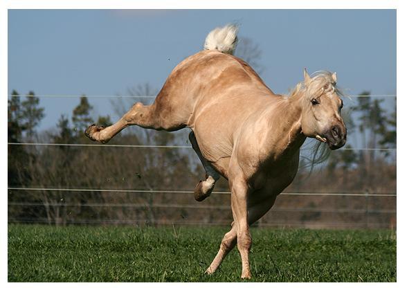 Le quarter horse.
