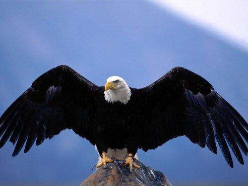 L'aigle.